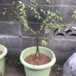 13か月目の梅の木【プランター栽培】