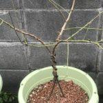 プランター栽培の梅から新芽