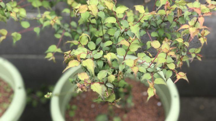 プランター栽培の梅で感じる春